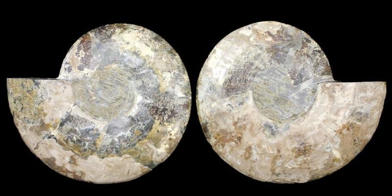 10.75 Inch Madagascar Ammonite Shell