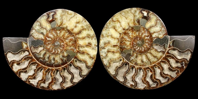10.75 Inch Madagascar Ammonite
