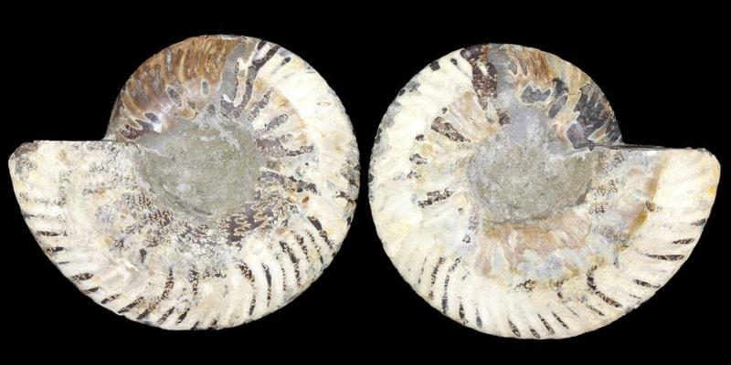 7.85 Inch Madagascar Ammonite Shell