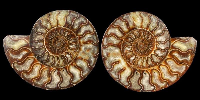 7.85 Inch Madagascar Ammonite