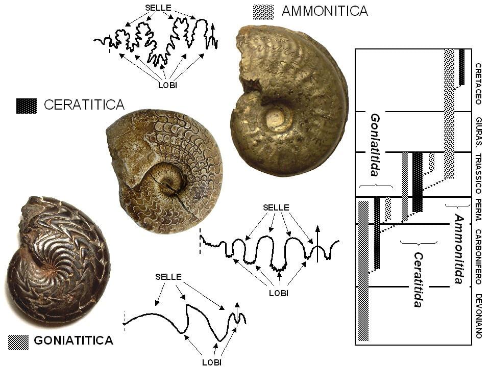 Ammonitic Sutures of Ammonites