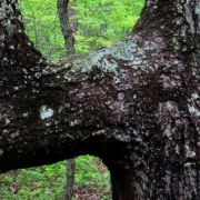 Indian Trail Tree